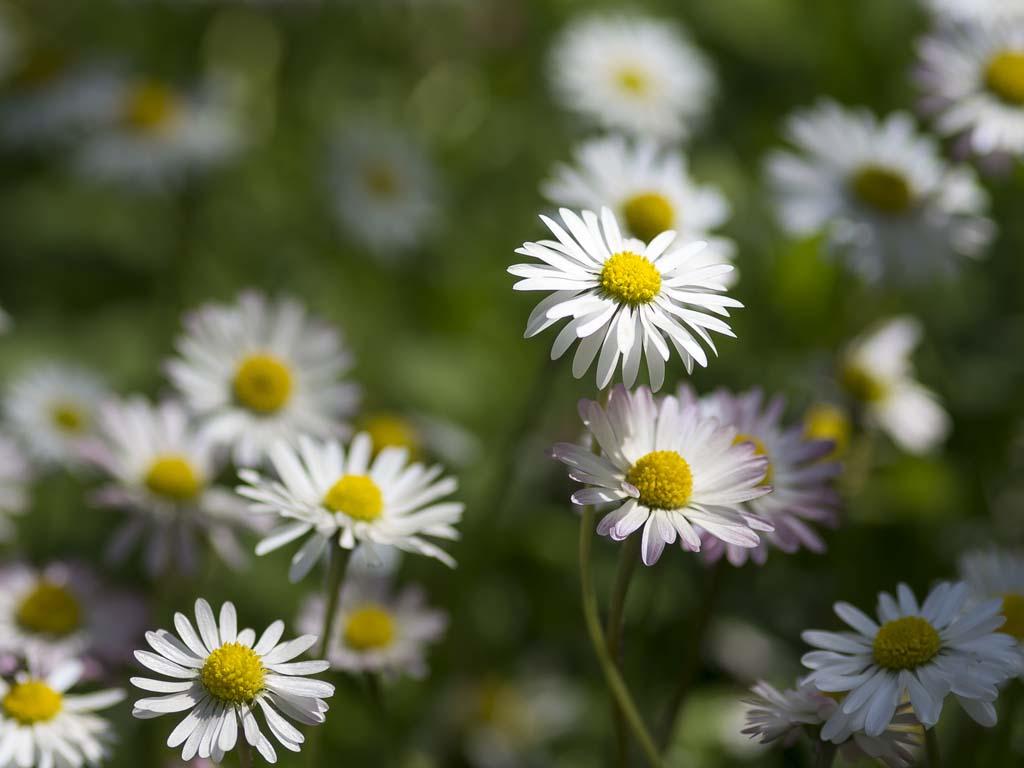 Der Garten - Gänseblümchen