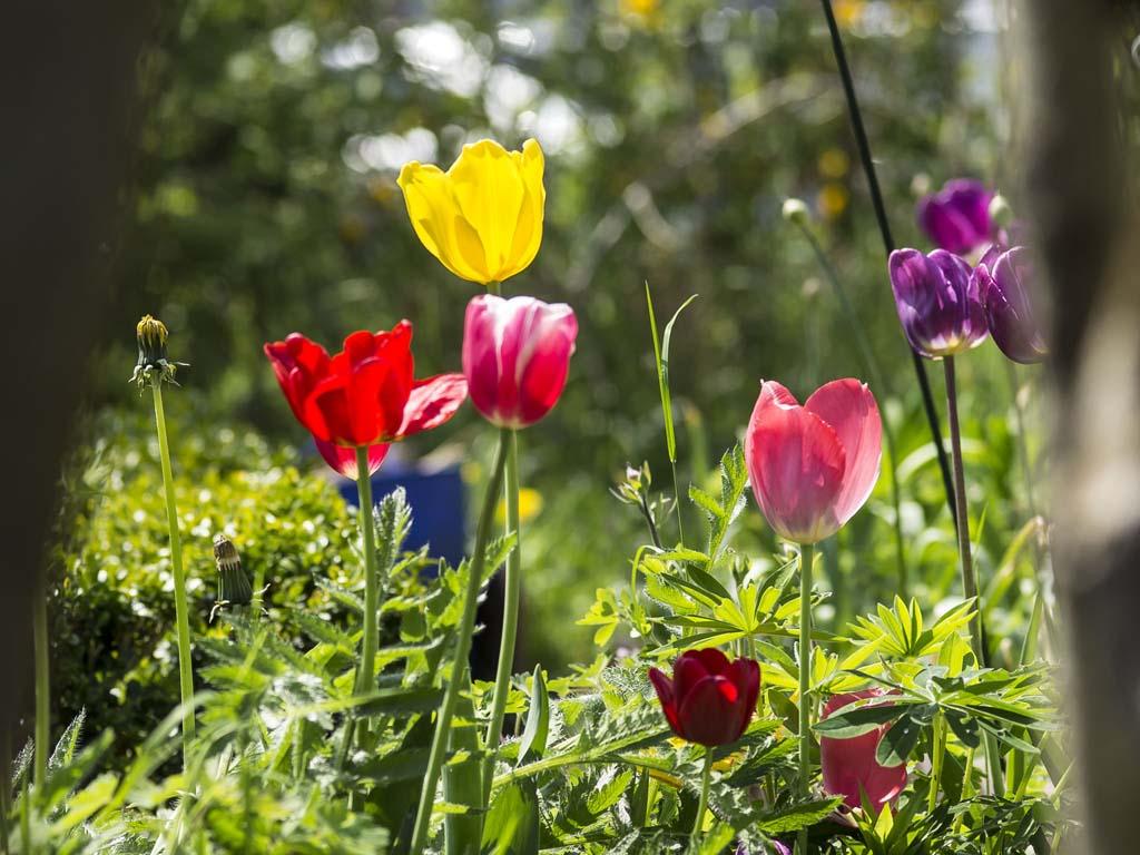 Der Garten - Tulpen