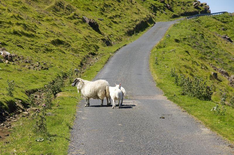 Schottland, Isle of Mull, Schafe