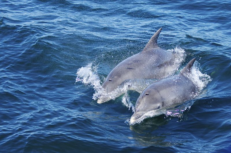 Schottland - Whale Watching - Delfine
