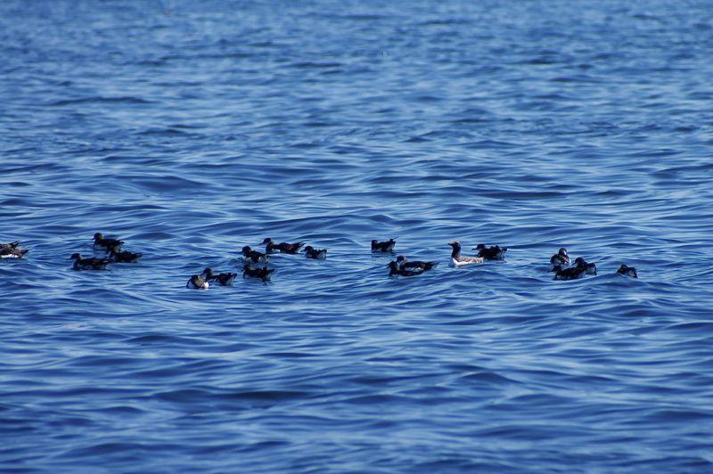 Schottland - Whale Watching - Seevögel
