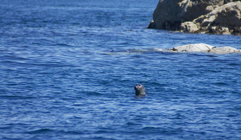Schottland - Whale Watching - Seehunde