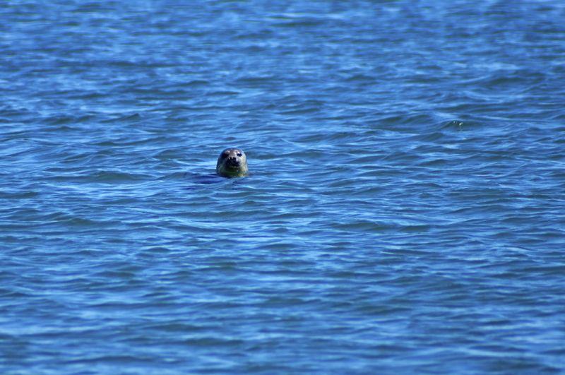 Schottland - Whale Watching - Seehund