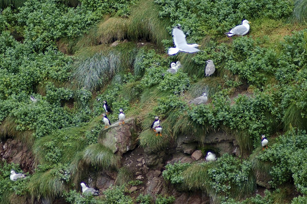 Schottland Longhaven Cliffs Puffins